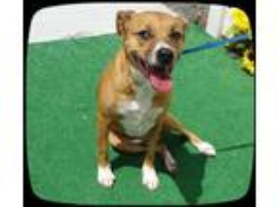 Adopt SADIE a Brown/Chocolate - with White Labrador Retriever / Mixed dog in