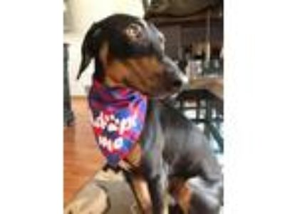 Adopt George a Doberman Pinscher