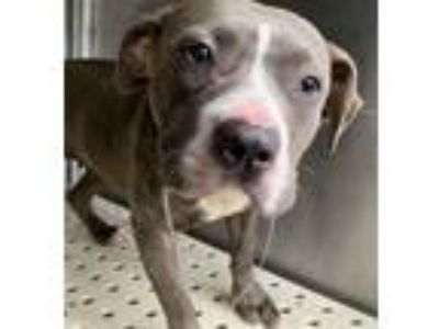 Adopt Rosie a Pit Bull Terrier / Mixed dog in Birmingham, AL (25638078)