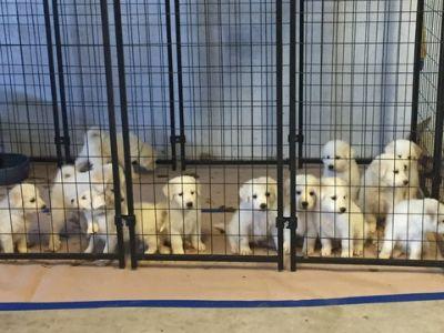 Maremma Sheepdog-Great Pyrenees Mix PUPPY FOR SALE ADN-93888 - Great PyreneesMaremma Puppies