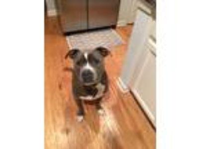 Adopt Taylor a Gray/Blue/Silver/Salt & Pepper American Pit Bull Terrier /