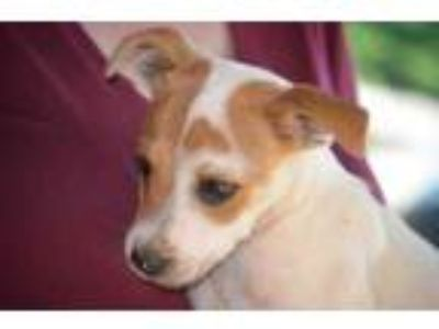 Adopt Brandon a White Beagle / Terrier (Unknown Type, Small) / Mixed dog in