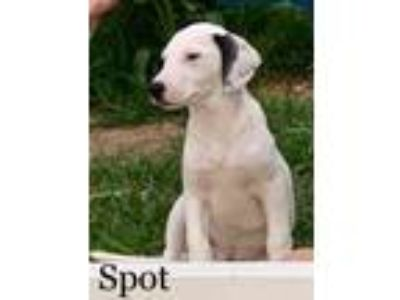 Adopt Spot a White Pointer / Mixed dog in Justin, TX (25418178)