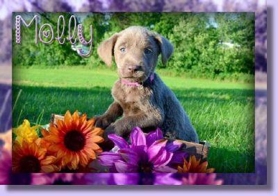 Molly AKC Female Labrador Retriever