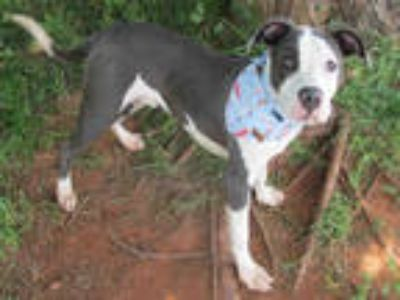 Adopt NEWTON a White - with Gray or Silver American Pit Bull Terrier / Mixed dog