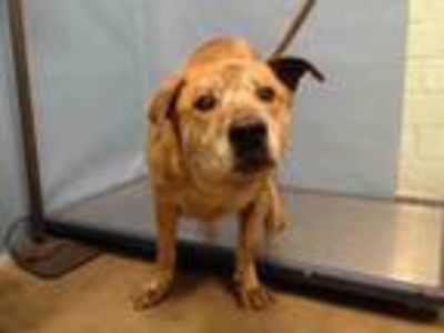 Adopt TIGER a Labrador Retriever, German Shepherd Dog