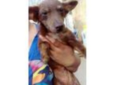Adopt Squirrel a Dachshund / Mixed dog in Rochester, MN (25850558)