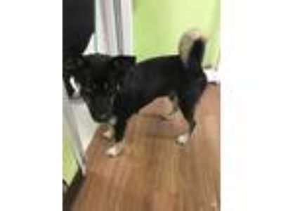 Adopt Mishka a Black Husky / Shepherd (Unknown Type) / Mixed dog in Vincennes