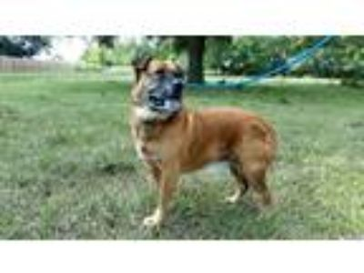 Adopt Nero - N a Red/Golden/Orange/Chestnut Bullmastiff / Mixed dog in