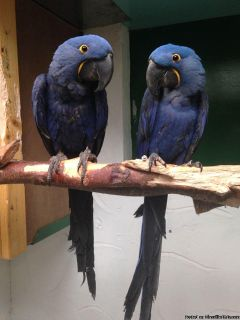 1 Young Bonded Pair Of Hyacinth Macaw Birds Available (Free)