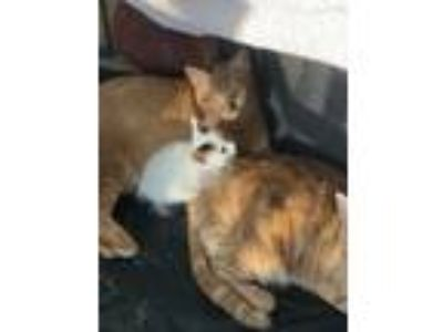 Adopt Phoenix a Orange or Red Tabby Domestic Shorthair cat in Marina del Rey