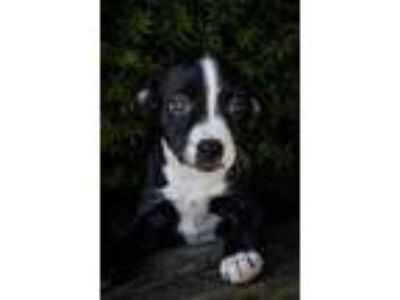 Adopt Giggle McDimples a Black American Pit Bull Terrier / Mixed dog in