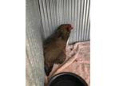 Adopt YOLKO ONO a Brown Chicken / Mixed bird in Denver, CO (25793375)