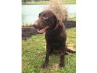 Adopt Harley a Brown/Chocolate Labrador Retriever / Mixed dog in Lewisville