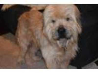 Adopt Gusher (Avail July 28, 2019) a Wheaten Terrier, Bearded Collie