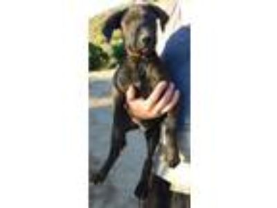 Adopt MISTY a Brindle Giant Schnauzer / Labrador Retriever / Mixed dog in