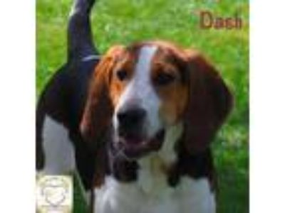 Adopt Dash a Basset Hound, Treeing Walker Coonhound