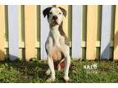 Adopt Nemo a Pit Bull Terrier / Basset Hound / Mixed dog in Sebastian