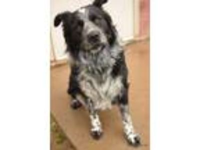 Adopt Jayson a Black Border Collie / Mixed dog in Caldwell, ID (25280202)