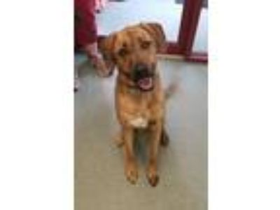 Adopt Brock a Hound, Mixed Breed