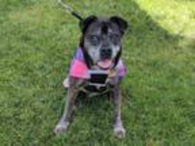 Adopt ETHEL a Boxer, American Staffordshire Terrier