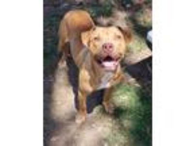 Adopt Deck a Tan/Yellow/Fawn - with White Pit Bull Terrier / Mixed Breed