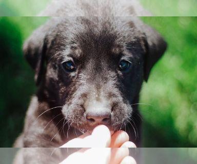 Labrador Retriever PUPPY FOR SALE ADN-130514 - LAB PUPS
