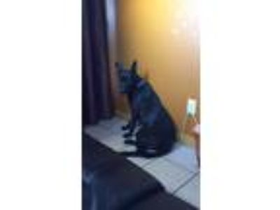 Adopt Lilo a Black German Shepherd Dog / Otterhound dog in Los Angeles