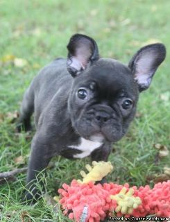 Franclins Babies French Bulldog Puppies for adoption