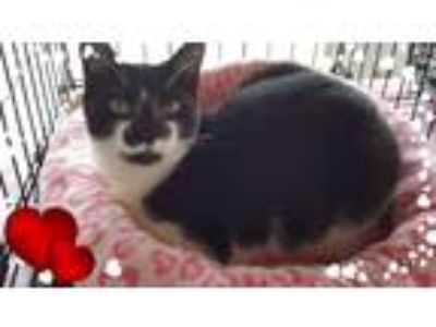 Adopt Bingo a Black & White or Tuxedo Domestic Shorthair (short coat) cat in