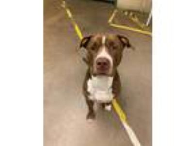 Adopt Brownie A La Mode (mcas) a American Pit Bull Terrier / Mixed dog in