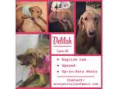 Adopt Delilah a Red/Golden/Orange/Chestnut Labrador Retriever / Mixed dog in