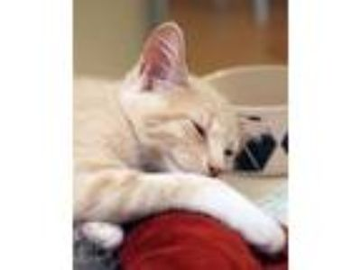 Adopt Peaches a Domestic Short Hair