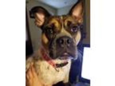 Adopt Sadie a Black - with White Boxer / Terrier (Unknown Type