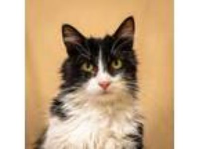 Adopt Strike-81523 a Domestic Short Hair