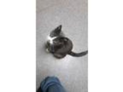Adopt Yizma a Gray or Blue Domestic Shorthair / Domestic Shorthair / Mixed cat