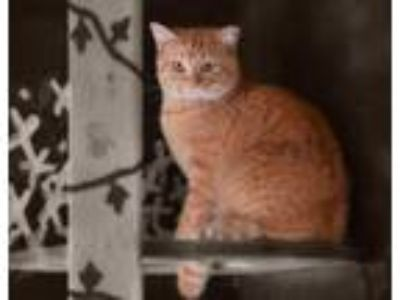 Adopt Butterscotch a Domestic Short Hair, Tabby