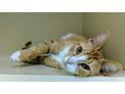 Adopt Lena a Orange or Red (Mostly) Domestic Shorthair (short coat) cat in