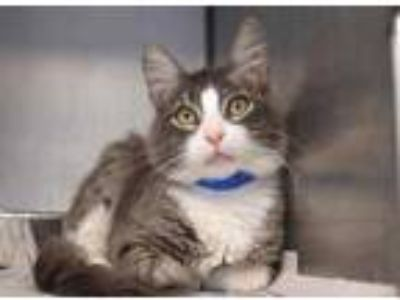 Adopt Thanos a Gray or Blue Domestic Mediumhair / Domestic Shorthair / Mixed cat