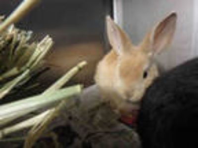 Adopt GINGER a Black Other/Unknown / Mixed rabbit in Los Angeles, CA (25552625)