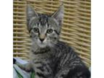 Adopt Pepper a Brown Tabby Domestic Shorthair (short coat) cat in Wheaton