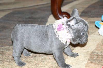 French Bulldog PUPPY FOR SALE ADN-89599 - AKC BLUE SILVER FRENCH BULLDOG BABIES