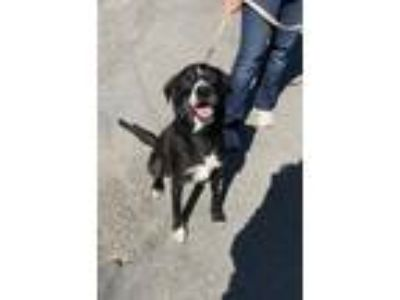 Adopt Theo a Labrador Retriever / Border Collie / Mixed dog in Elmsford