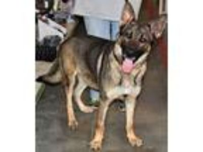 Adopt Baus a German Shepherd Dog