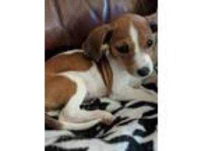 Adopt Suki a Brown/Chocolate - with White Jack Russell Terrier / Dachshund /