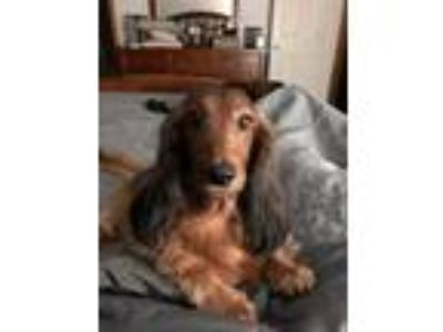 Adopt Maisey a Tan/Yellow/Fawn - with Black Dachshund / Mixed dog in Georgetown