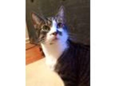 Adopt Toby a Brown Tabby Domestic Shorthair (short coat) cat in Sherman Oaks