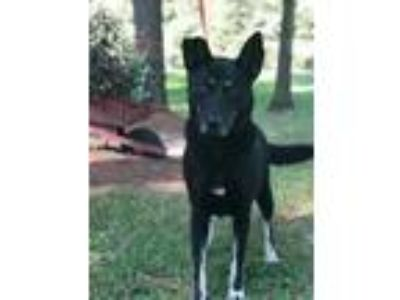 Adopt Huck a Black - with Gray or Silver German Shepherd Dog / Mixed dog in