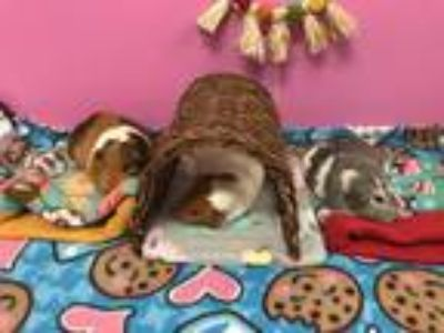 Adopt Luna, Honey, and Cocoa a Guinea Pig small animal in Fullerton