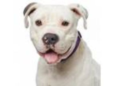 Adopt Betsy a Pit Bull Terrier, American Staffordshire Terrier